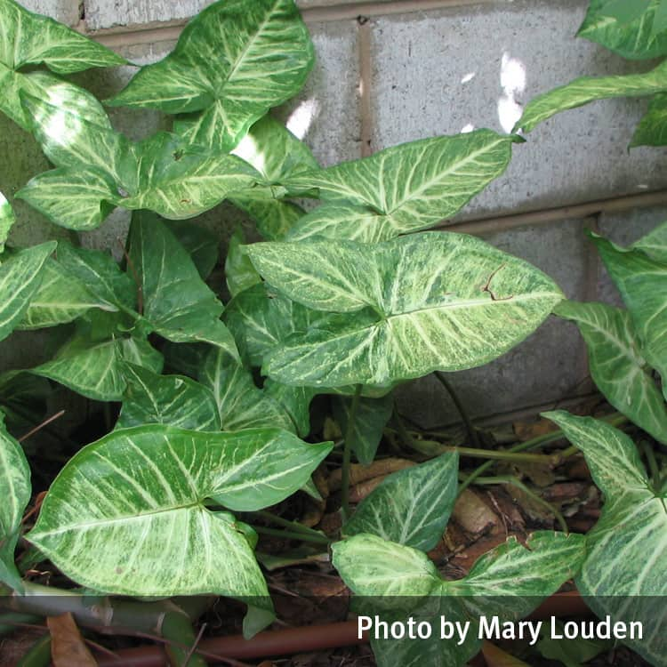 Arrow head plant (Syngonium)