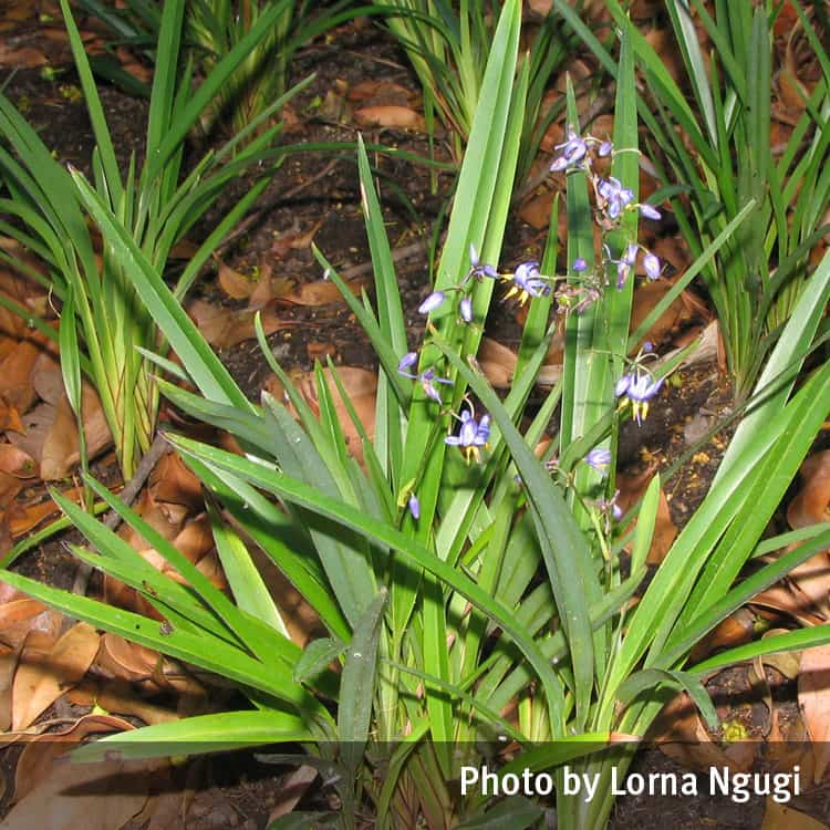 Blue flax lily (Dianella)