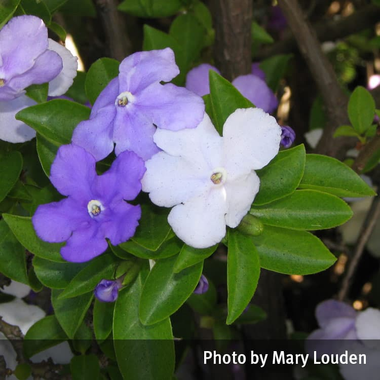 Yesterday, today and tomorrow (Brunfelsia)