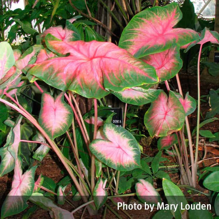 Angel\'s wings (Caladium) | Queensland Poisons Information Centre