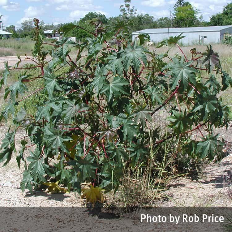 Castor Oil Plant Ricinus Communis Qpic