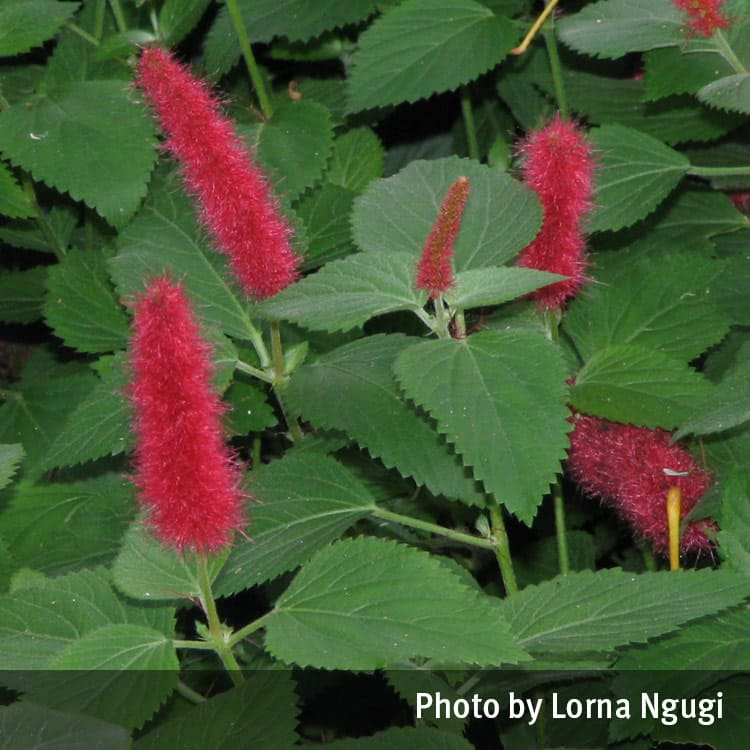 Chenille plant (Acalypha spp)