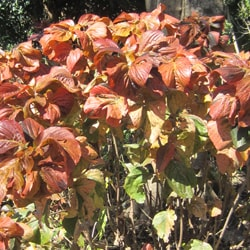 Copperleaf Acalypha Wilkesiana Childrens Health Queensland