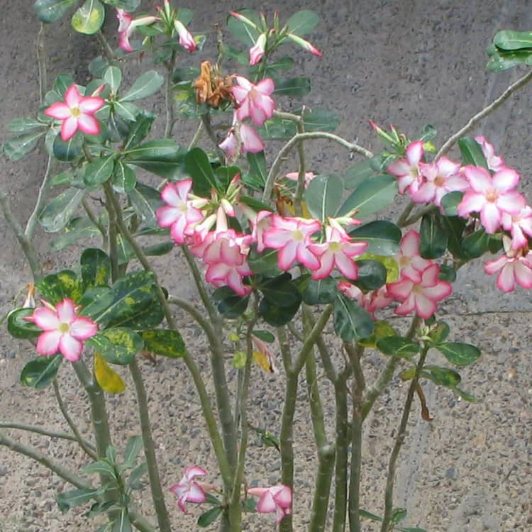 Adenium Obesum Desert Rose Seeds Golden Blood Red Double Petals Flower Garden