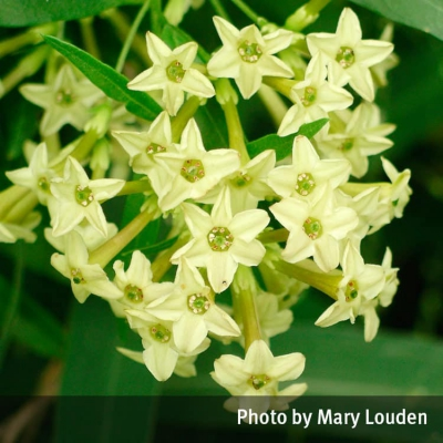 Green cestrum