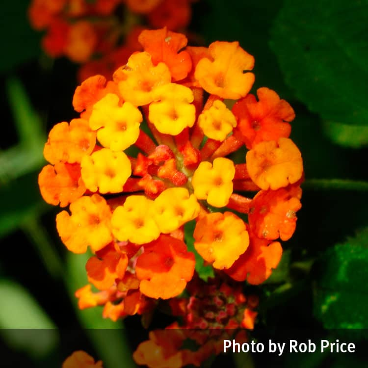 Lantana Lantana Camara Queensland Poisons Information Centre