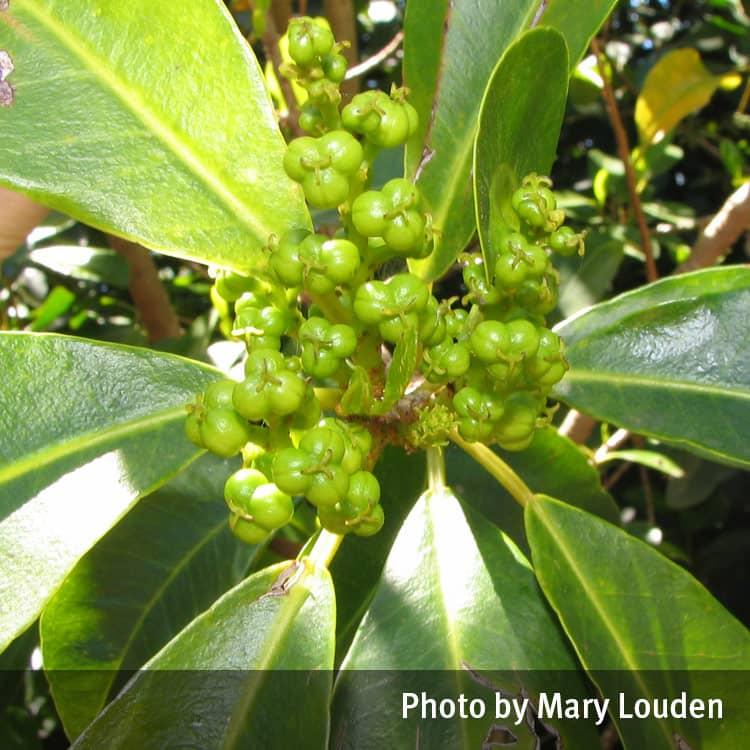 Types of Mangroves