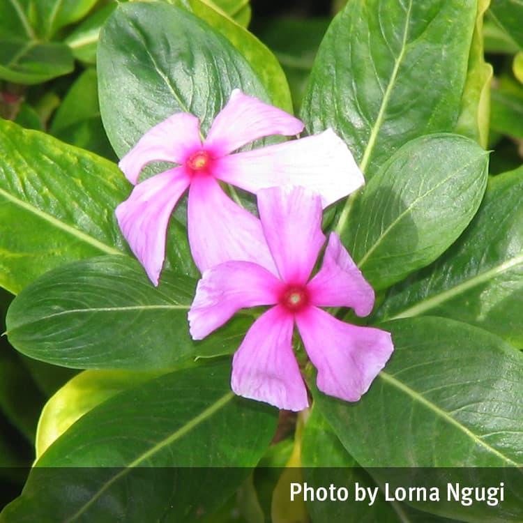 Periwinkle pink or white catharanthus roseus queensland periwinkle pink or white catharanthus roseus mightylinksfo
