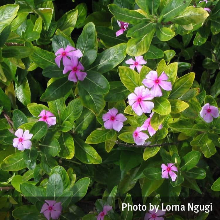 Periwinkle Pink Or White Catharanthus Roseus Queensland
