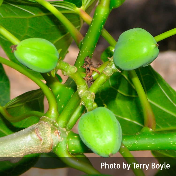 Physic nut (Jatropha curcas)