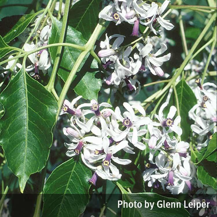 White cedar melia azedarach queensland poisons information centre white cedar melia azedarach mightylinksfo