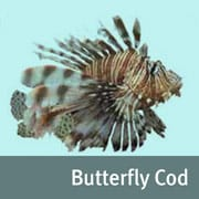 Butterfly cod image
